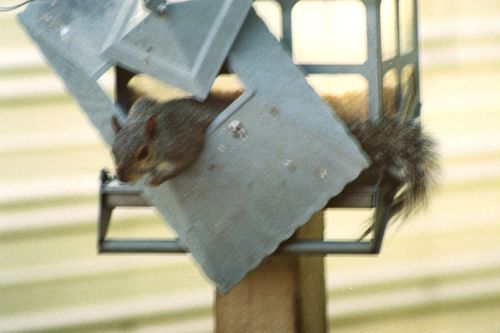 Squirrel on feeder R1-005-1