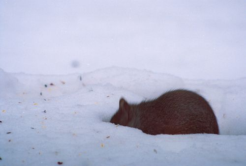 Squirrel 9-R1-061-29