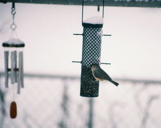 Tufted Titmouse on peanut feeder