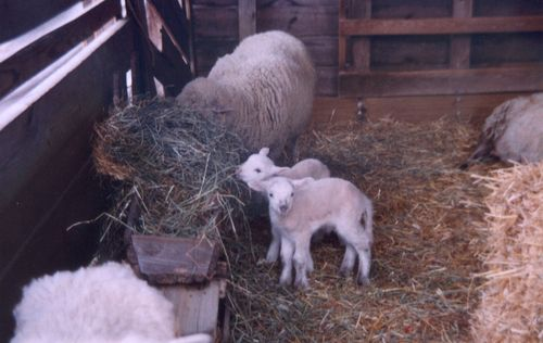 2 baby sheep with mama