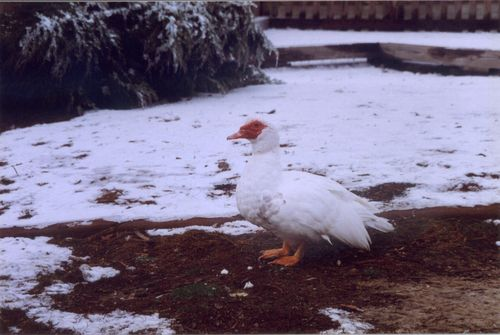 White duck in the snow