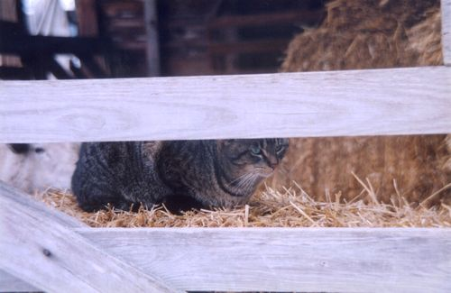 Tabby cat in barn with the sheep