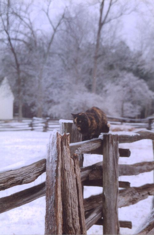Black and gold cat on fence in snow