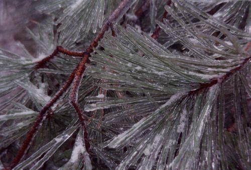 Pine needles with ice