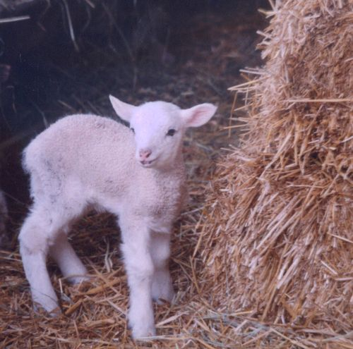 Baby sheep in the hay