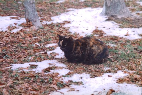 Black and gold cat in the snowy leaves