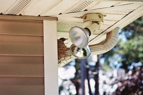 Mother robin in her nest