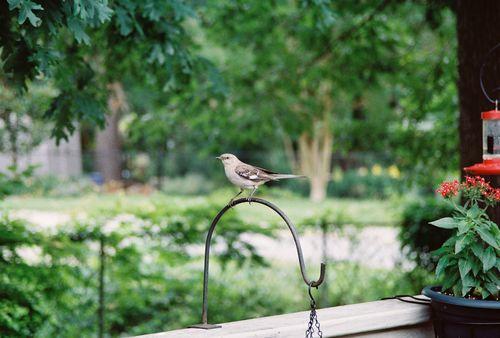 Mockingbird posing between songs