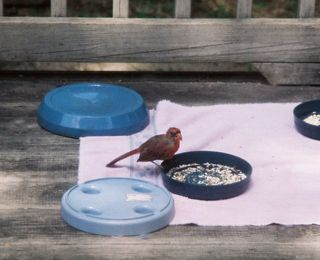 Baby cardinal eating seeds