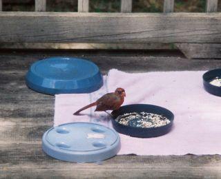 Baby cardinal eating seeds