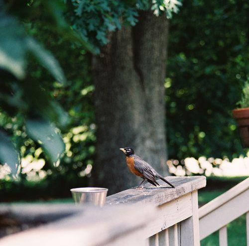 Bouncer the robin patroling his turf