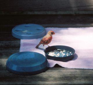 Baby cardinal on food bowl