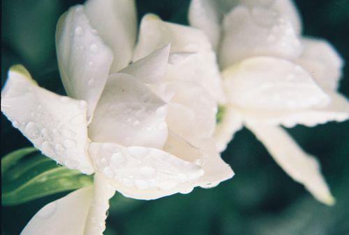 Gardenias with rain drops 2