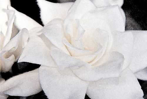 Gardenia special effect black and white 9