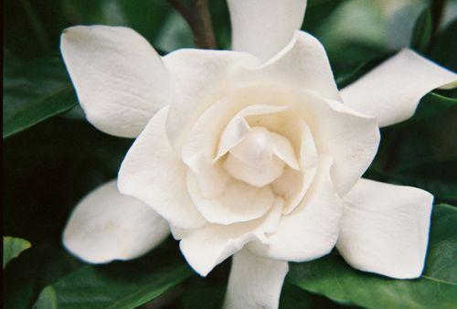 Gardenia on bush 10