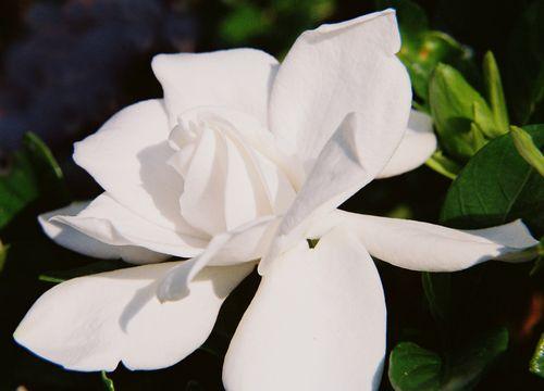 Ruffly gardenia 7