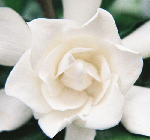 Gardenia close up 11