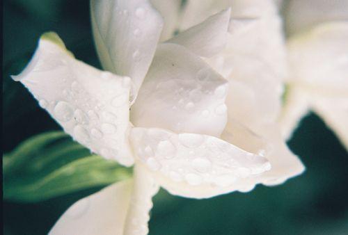 Gardenias with rain drops 1