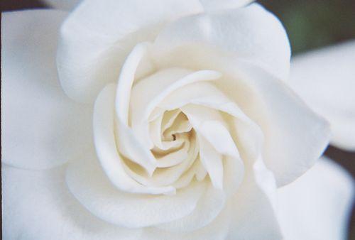 Gardenia closeup 4