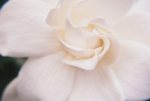 Gardenia spiral center 12