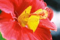 2 orange sulphur butterflies on hibiscus