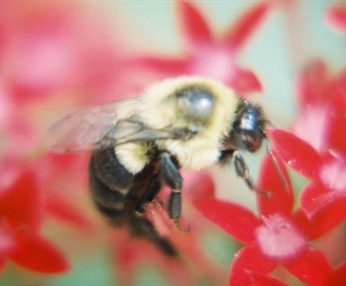 Honeybee on red penta plant