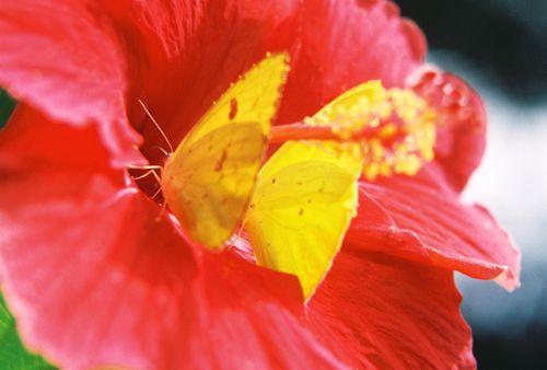 2 orange sulphur butterflies on hibiscus