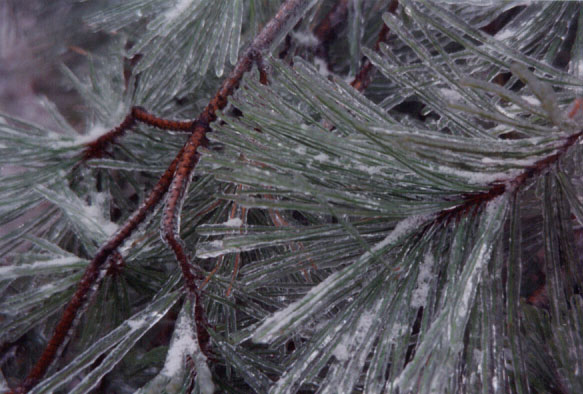 Pine needles with ice for website homepage