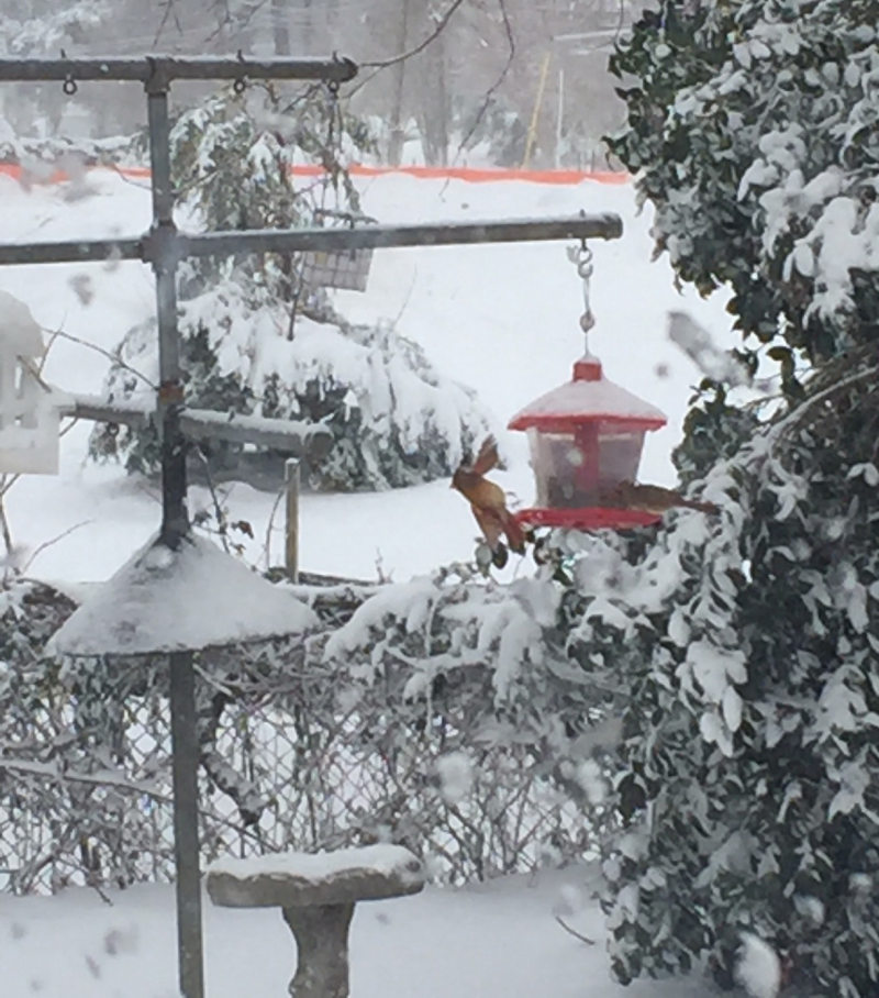 Female cardinal in flight off feeder in snow