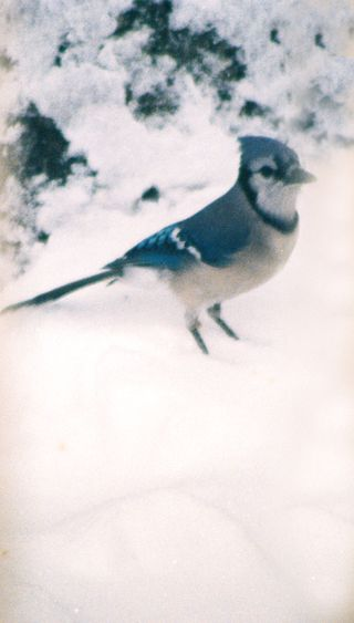 Bluejay in snow on the ground