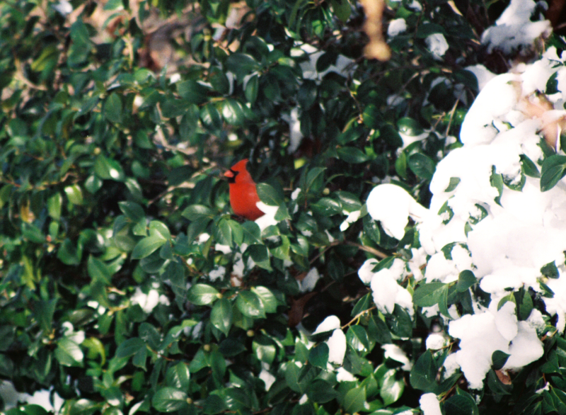 Male cardinal in sasanqua bush