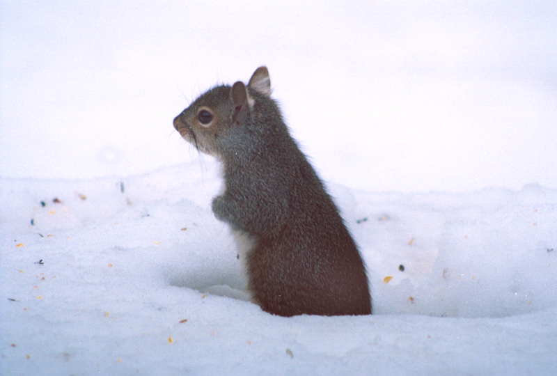 Squirrel sitting up in tunnel of snow
