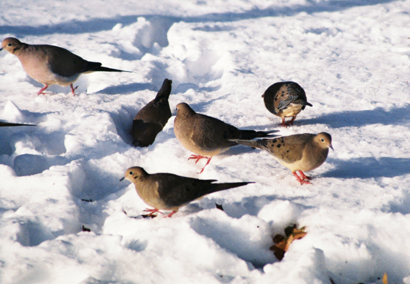 Doves feeding on ground in the snow