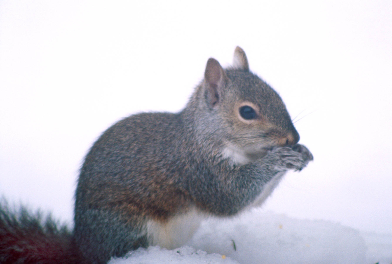 Squirrel eating sunflower seed in snow